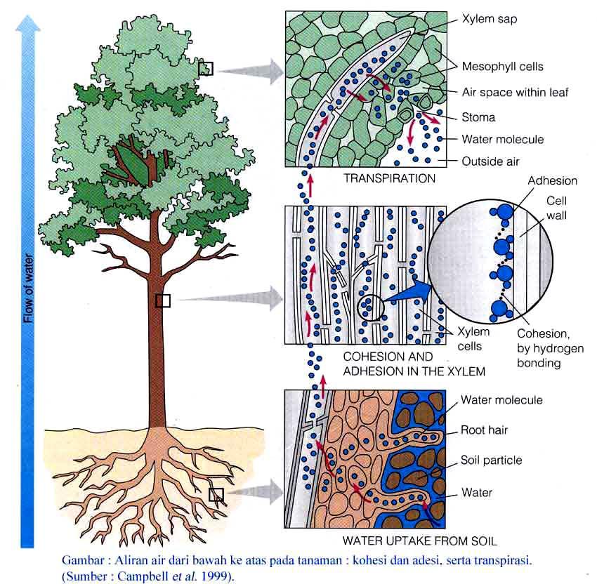 Organ tumbuhan biji yang penting ada 3, yakni: akar, batang, daun.