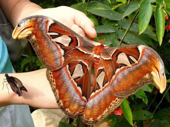 Atlas Moth serangga terbesar di dunia