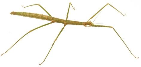 Giant stick insects serangga terbesar di dunia