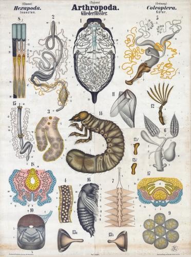 jaringan embrional arthropoda