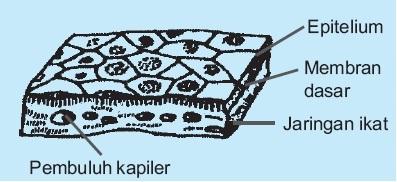 jaringan-Epitelium-pipih-selapis-hewan