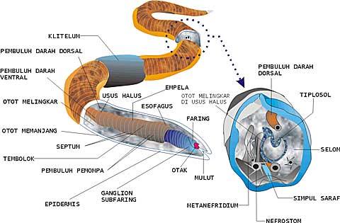 nemathelminthes gambar reproduksi